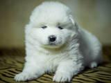 Собаки, щенки Самоед, цена 8000 Грн., Фото