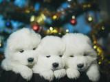 Собаки, щенята Самоїдом, ціна 8000 Грн., Фото