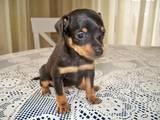 Собаки, щенки Русский гладкошерстный тойтерьер, цена 2500 Грн., Фото