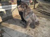 Собаки, щенята Німецька жорсткошерста лягава, ціна 5 Грн., Фото
