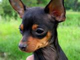 Собаки, щенята Російський гладкошерстий тойтерьер, Фото