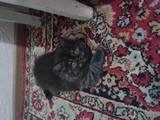 Кошки, котята Британская длинношёрстная, цена 1000 Грн., Фото