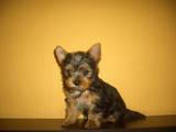 Собаки, щенята Малий шпіц, ціна 4500 Грн., Фото
