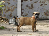 Собаки, щенята Бульмастиф, ціна 5000 Грн., Фото