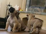 Собаки, щенята Південноафриканський Бурбуль, ціна 10000 Грн., Фото