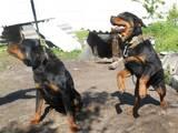 Собаки, щенки Ротвейлер, цена 1700 Грн., Фото