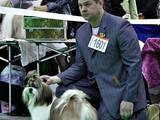 Собаки, щенята Ши-тцу, ціна 4000 Грн., Фото