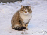 Кішки, кошенята Сибірська, ціна 100 Грн., Фото