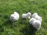 Собаки, щенки Русский гладкошерстный тойтерьер, цена 7500 Грн., Фото