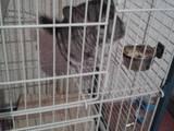 Грызуны Шиншиллы, цена 900 Грн., Фото