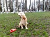 Собаки, щенки Английский коккер, цена 750 Грн., Фото
