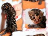 Кішки, кошенята Бенгальськая, ціна 16000 Грн., Фото
