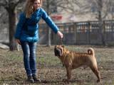 Собаки, щенята Шарпей, ціна 5000 Грн., Фото