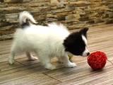 Собаки, щенки Папильон, цена 12000 Грн., Фото