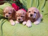 Собаки, щенята Американський коккер, ціна 2200 Грн., Фото