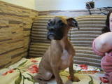 Собаки, щенки Боксер, цена 2800 Грн., Фото