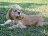 Собаки, щенята Американський коккер, ціна 2100 Грн., Фото