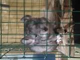 Грызуны Шиншиллы, цена 700 Грн., Фото