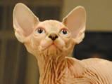 Кішки, кошенята Канадський сфінкс, ціна 15000 Грн., Фото