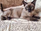 Кошки, котята Бурма, цена 5000 Грн., Фото