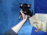 Собаки, щенки Русский гладкошерстный тойтерьер, цена 4500 Грн., Фото