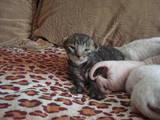 Кішки, кошенята Корніш-рекс, ціна 2200 Грн., Фото