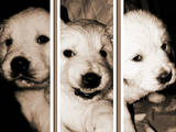 Собаки, щенки Золотистый ретривер, цена 2000 Грн., Фото