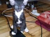 Кішки, кошенята Донський сфінкс, ціна 1200 Грн., Фото