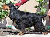 Собаки, щенки Английский коккер, Фото