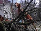 Собаки, щенята Угорська вижла, Фото