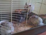 Грызуны Шиншиллы, цена 100 Грн., Фото