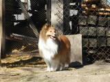 Собаки, щенки Шелти, цена 3000 Грн., Фото