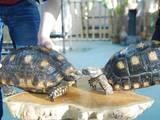 Животные Экзотические животные, цена 46000 Грн., Фото