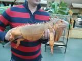 Тварини Екзотичні тварини, ціна 11500 Грн., Фото