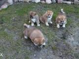 Собаки, щенки Акита-ину, цена 12250 Грн., Фото