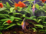 Рибки, акваріуми Водні рослини, ціна 15 Грн., Фото