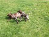 Собаки, щенята Німецька гладкошерста лягава, ціна 2400 Грн., Фото