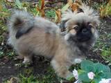 Собаки, щенята Пекінес, Фото