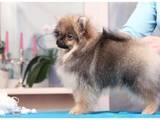 Собаки, щенки Малый шпиц, цена 15000 Грн., Фото