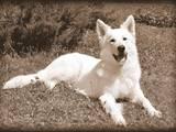 Собаки, щенки Белая Швейцарская овчарка, цена 6000 Грн., Фото