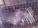 Гризуни Домашні щури, ціна 100 Грн., Фото