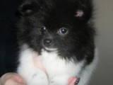 Собаки, щенки Карликовый шпиц, цена 25000 Грн., Фото