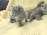Кошки, котята Русская голубая, цена 5000 Грн., Фото