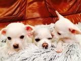 Собаки, щенята Чихуа-хуа, ціна 2500 Грн., Фото
