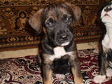 Собаки, щенки Американский стаффордширский терьер, цена 1400 Грн., Фото