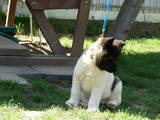 Собаки, щенята Американський акіта, ціна 10000 Грн., Фото