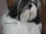 Собаки, щенята Ши-тцу, ціна 4500 Грн., Фото
