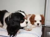 Собаки, щенки Кавалер-Кинг-Чарльз спаниель, цена 18000 Грн., Фото