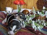 Собаки, щенки Бигль, цена 7000 Грн., Фото