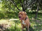 Собаки, щенки Бордосский дог, цена 1000 Грн., Фото
